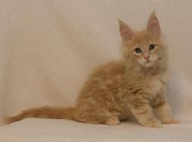 Foto 5 Reinrassige Maine Coon Kitten