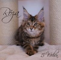 Foto 3 Reinrassige Maine Coon Kitten