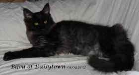 Foto 2 Reinrassige Maine Coon Kitten Bijou und Beverly