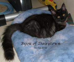 Foto 3 Reinrassige Maine Coon Kitten Bijou und Beverly