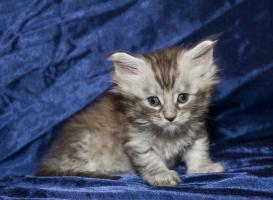 Reinrassige Maine Coon Kitten mit Papieren