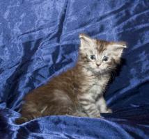 Foto 3 Reinrassige Maine Coon Kitten mit Papieren