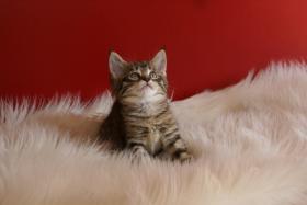 Reinrassige Maine Coon Kitten mit Stammbaum