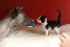 Foto 2 Reinrassige Maine Coon Kitten mit Stammbaum
