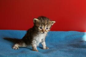 Foto 4 Reinrassige Maine Coon Kitten mit Stammbaum