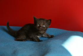 Foto 5 Reinrassige Maine Coon Kitten mit Stammbaum