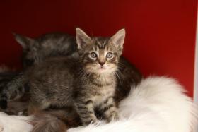 Foto 6 Reinrassige Maine Coon Kitten mit Stammbaum