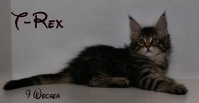 Foto 3 Reinrassige Maine Coon Kitten unser Walt Disney Wurf