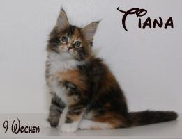 Foto 4 Reinrassige Maine Coon Kitten unser Walt Disney Wurf