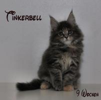 Foto 5 Reinrassige Maine Coon Kitten unser Walt Disney Wurf