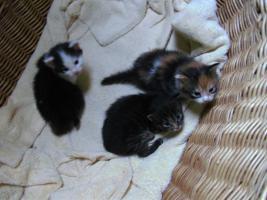 Reinrassige Maine-Coon-Kitten abzugebn