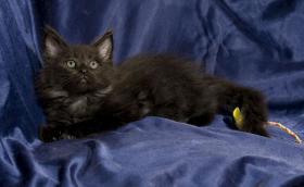 Reinrassige Maine Coon Kitten m.Papieren