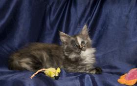 Foto 2 Reinrassige Maine Coon Kitten m.Papieren