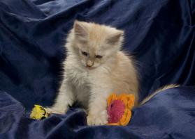 Foto 3 Reinrassige Maine Coon Kitten m.Papieren