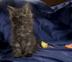 Foto 4 Reinrassige Maine Coon Kitten m.Papieren
