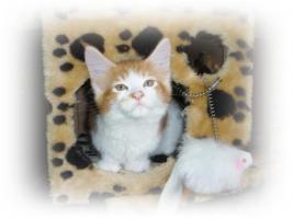 Reinrassige Maine Coon Kitten suchen Liebevollen Dosen�ffner