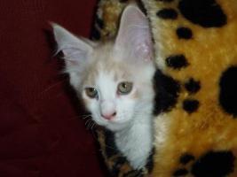 Foto 2 Reinrassige Maine Coon Kitten suchen Liebevollen Dosen�ffner