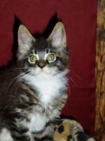Foto 4 Reinrassige Maine Coon Kitten suchen Liebevollen Dosen�ffner