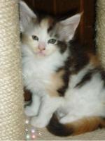 Foto 5 Reinrassige Maine Coon Kitten suchen Liebevollen Dosen�ffner