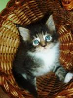 Foto 4 Reinrassige Maine Coon Kitten suchen Liebevolles zu Hause