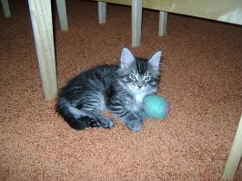 Reinrassige Maine Coon Kitten suchen liebe Familie