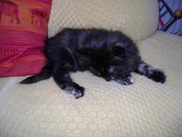 Foto 2 Reinrassige Maine Coon Kitten suchen liebe Familie