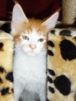 Reinrassige Maine Coon Kitten suchen ein neues zu Hause