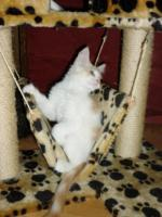 Foto 3 Reinrassige Maine Coon Kitten suchen ein neues zu Hause