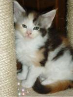 Foto 5 Reinrassige Maine Coon Kitten suchen ein neues zu Hause
