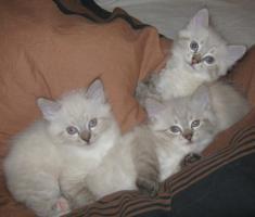 Reinrassige Neva Masquarade Kitten!!