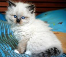 Foto 3 Reinrassige Neva Masquerade Kitten abzugeben