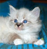 Foto 4 Reinrassige Neva Masquerade Kitten abzugeben