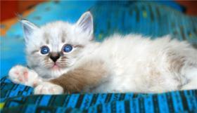Foto 5 Reinrassige Neva Masquerade Kitten abzugeben