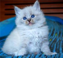 Foto 6 Reinrassige Neva Masquerade Kitten abzugeben