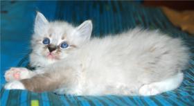 Foto 7 Reinrassige Neva Masquerade Kitten abzugeben
