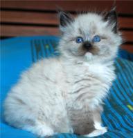 Foto 8 Reinrassige Neva Masquerade Kitten abzugeben