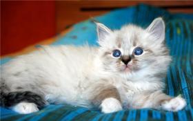 Foto 9 Reinrassige Neva Masquerade Kitten abzugeben