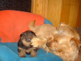 Foto 3 Reinrassige Norfolk Terrier