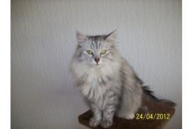 Foto 2 Reinrassige Norwegische Waldkatzen