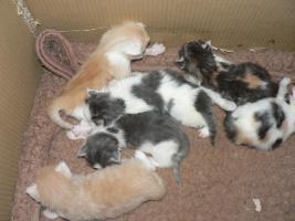 Reinrassige Norwegische-Waldkatzen-Kitten gelegentlich  abzugeben