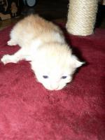 Foto 3 Reinrassige Norwegische-Waldkatzen-Kitten gelegentlich  abzugeben