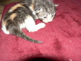Foto 6 Reinrassige Norwegische-Waldkatzen-Kitten gelegentlich  abzugeben