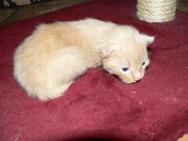 Foto 8 Reinrassige Norwegische-Waldkatzen-Kitten gelegentlich  abzugeben