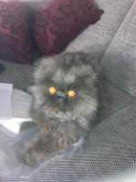 Reinrassige Perser Katze abzugeben