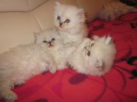 Foto 3 Reinrassige Perserbabys