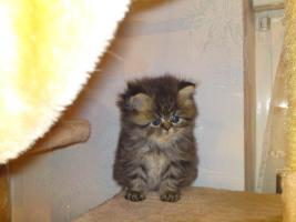 Foto 4 Reinrassige Perserkätzchen