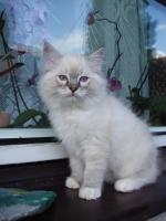 Foto 2 Reinrassige Ragdoll Kitten mit Stammbaum