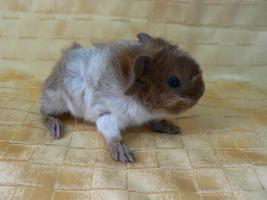 Foto 2 Reinrassige Rosetten-Meerschweinchen-Babies in schimmel abzugeben!