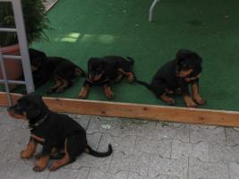 Reinrassige Rottweiler welpen 9 Wo. alt - suchen neues zuhause