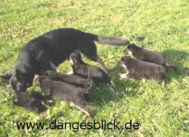 Reinrassige Schäferhundwelpen